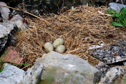Nest einer Eider